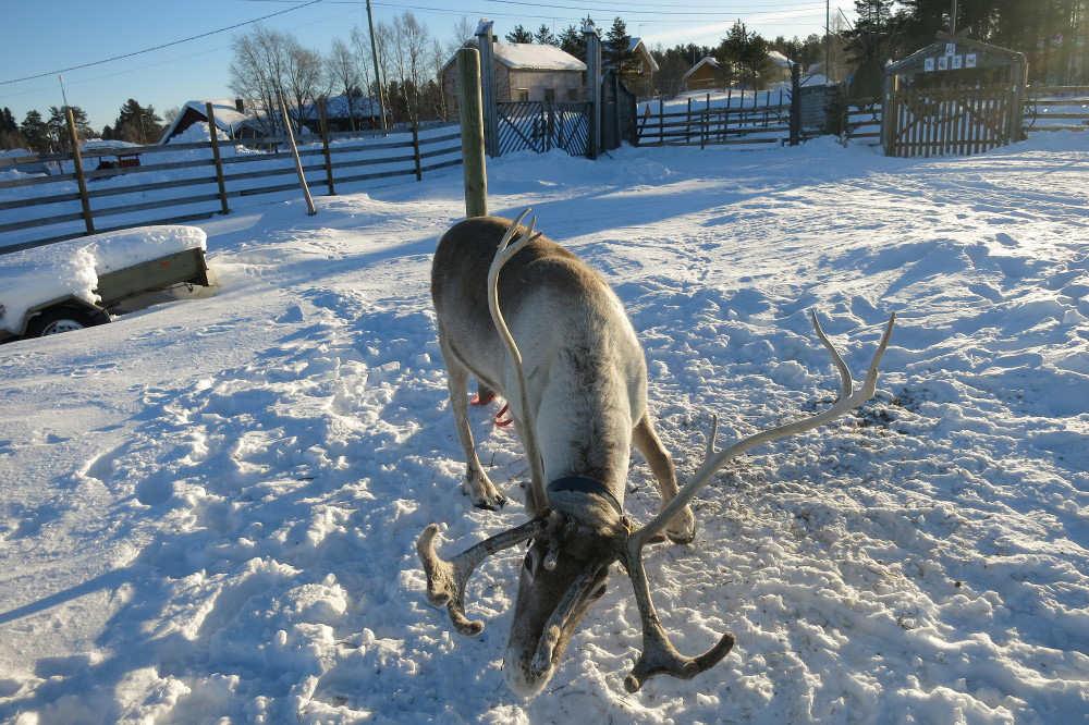 lapland reindeer safari 1.jpg
