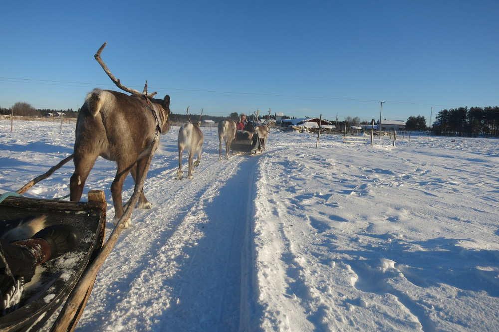 reindeer_lapland_1.jpg