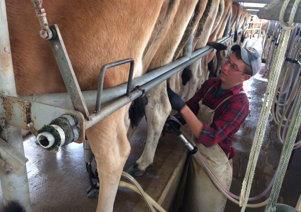 Farmer Adam milks like the professional he is.