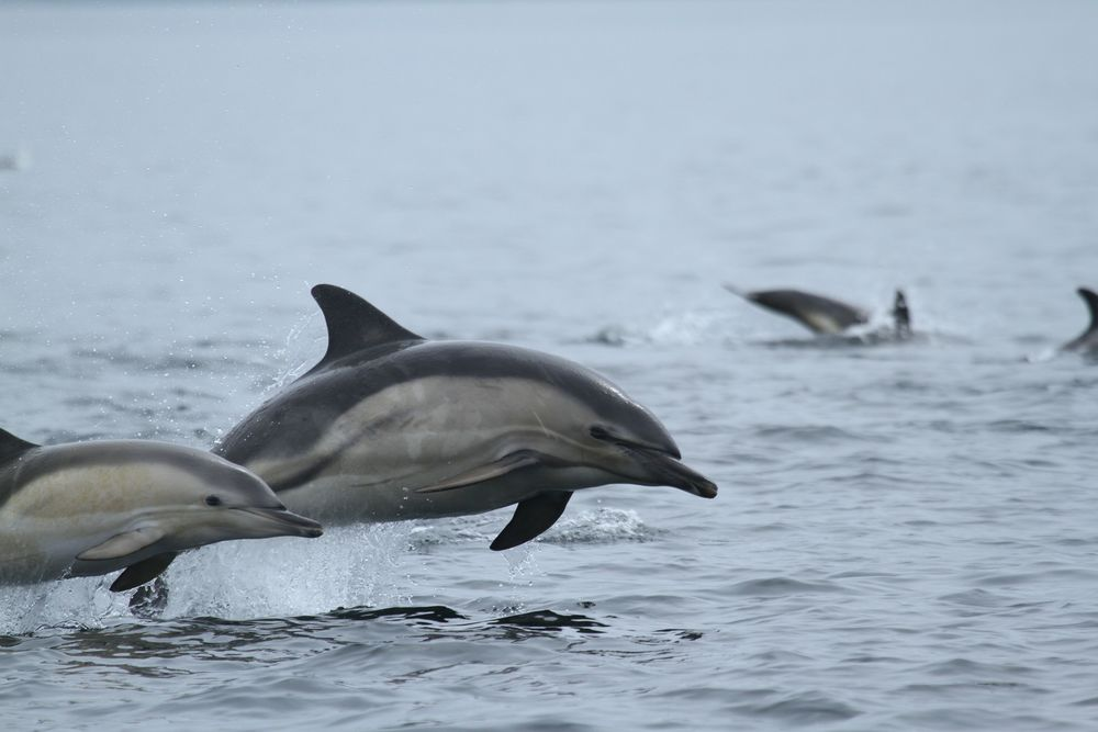 IMG_4262CommonDolphins_result.jpg