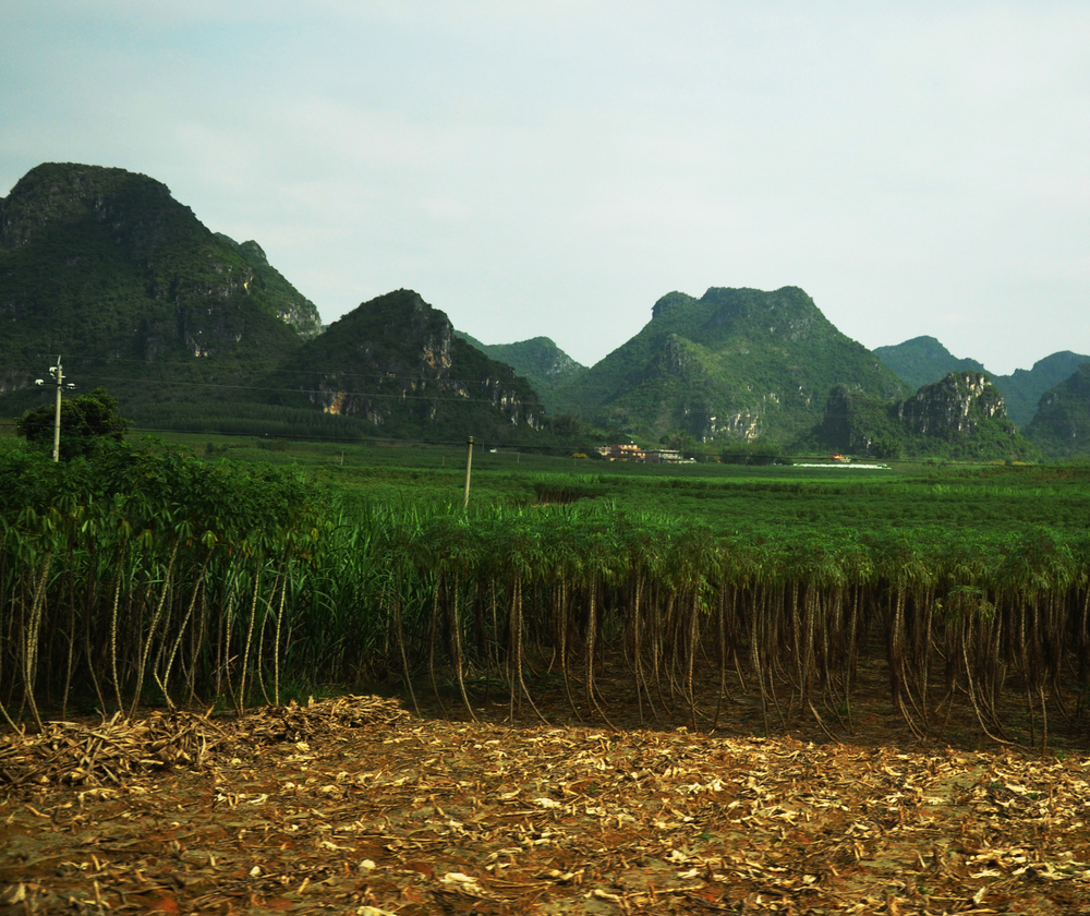 CASSAVA PRODUCTION, GUANGXI PROVINCE. PHOTO: ANDREW GRAFFAM, NRI.