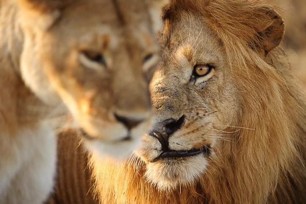 3-lions-Masai-Mara-Great-Migration-Africa-Kenya.jpg
