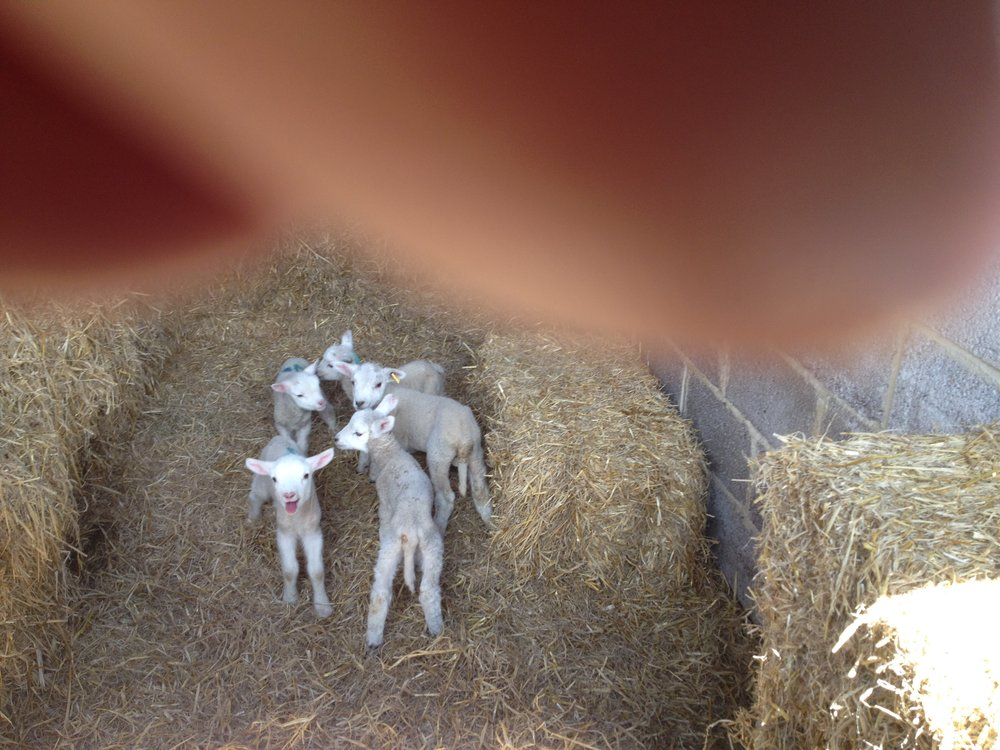 5 new little lambs! (Sorry about my finger!)