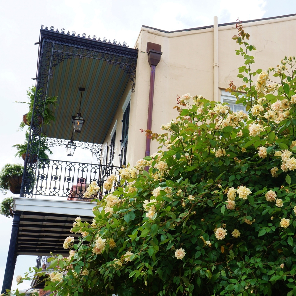 French Quarter home with rose bush