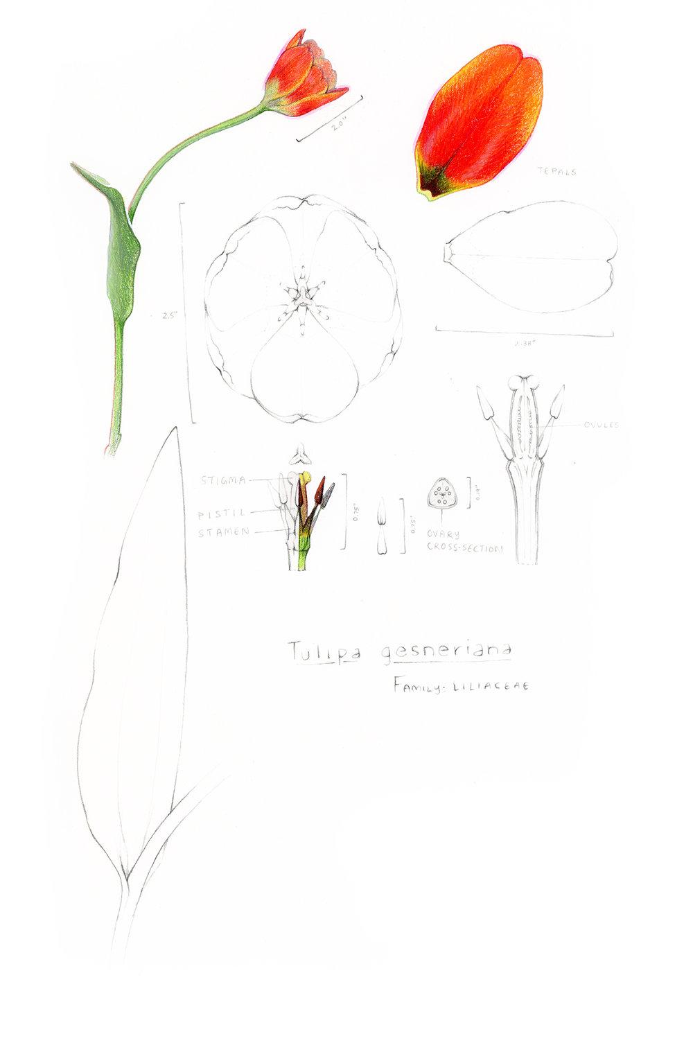 tulip_sm.jpg