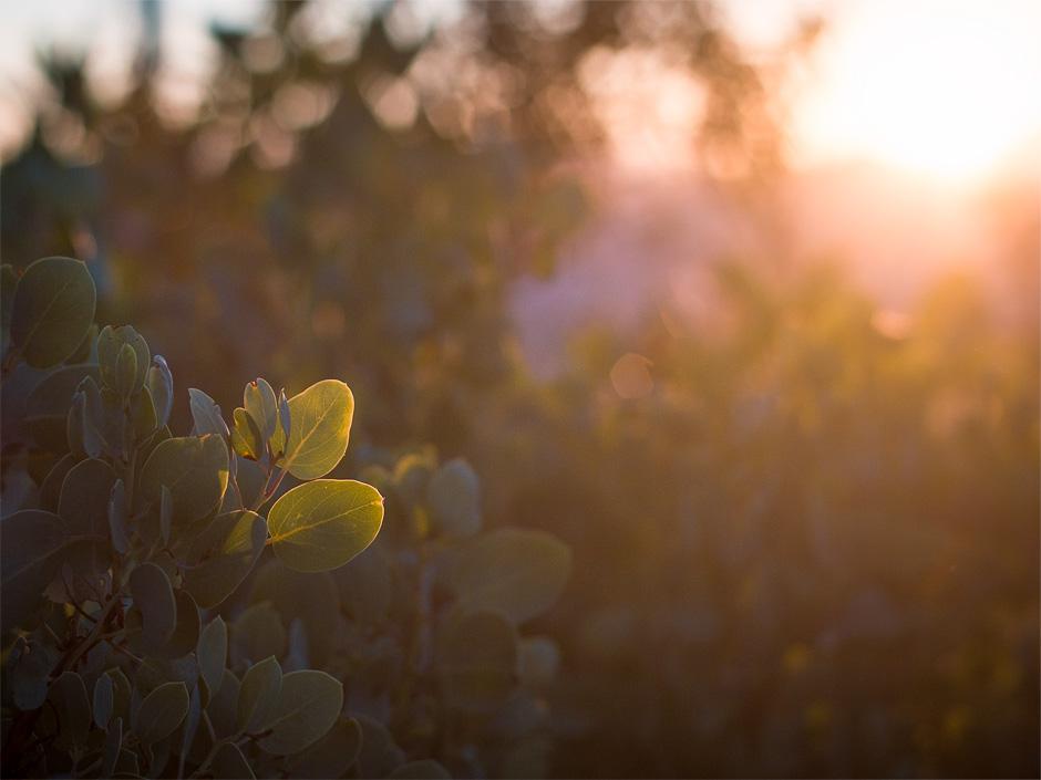 california_manzanita_sunset