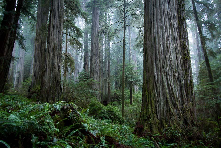 JedSmithDelNorte_RedwoodNationalPark_Schedler