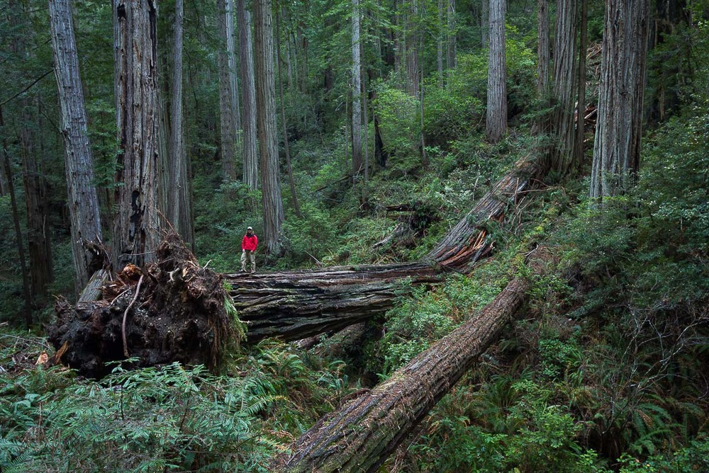 fallen_redwood_tree_schedler.jpg