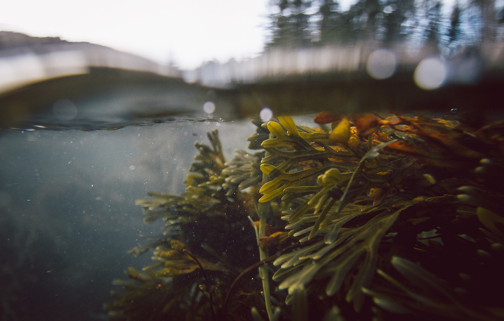 acadia_underwater_seaweed.jpg