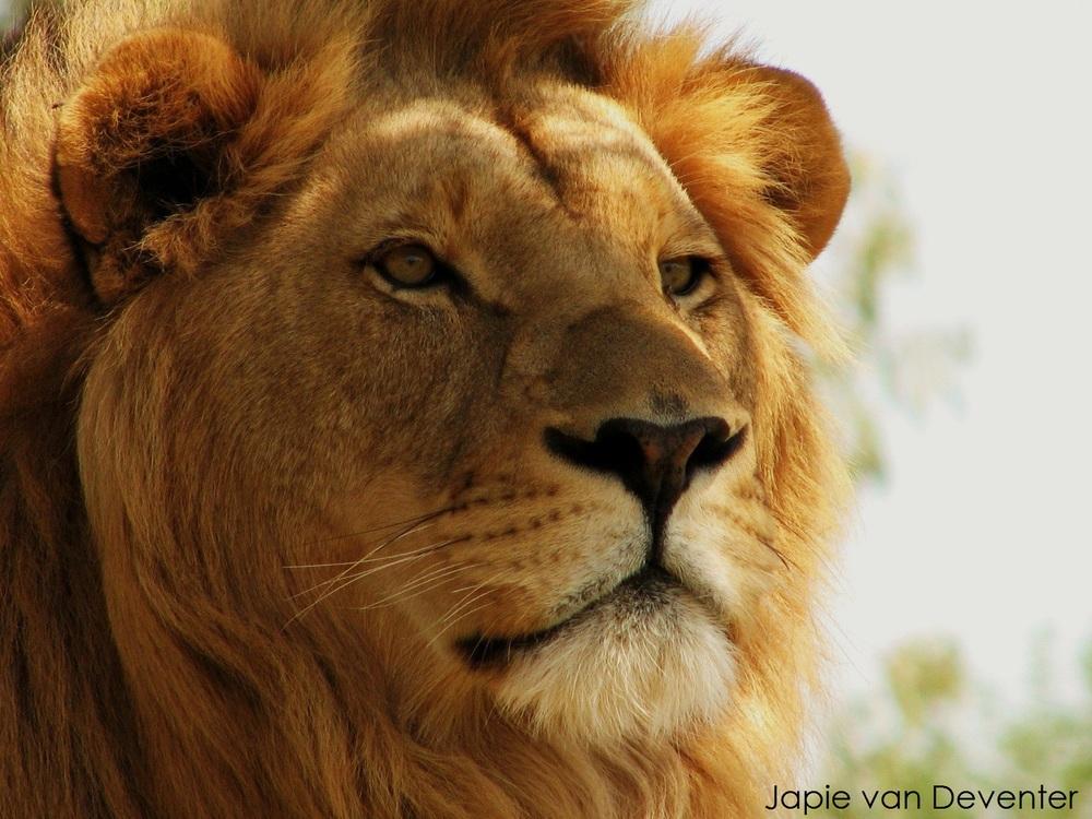 Lion. Photo by @jaapdozer