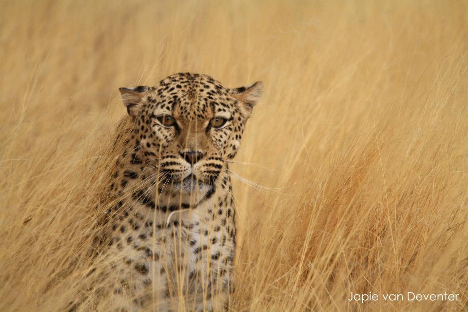 Leopard. Photo by  @jaapdozer