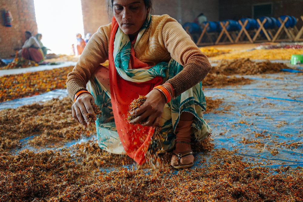 After the flowers are sorted they begin a drying process. Sunita sifts through flowers that are in the middle of drying to make sure they are spread evenly.