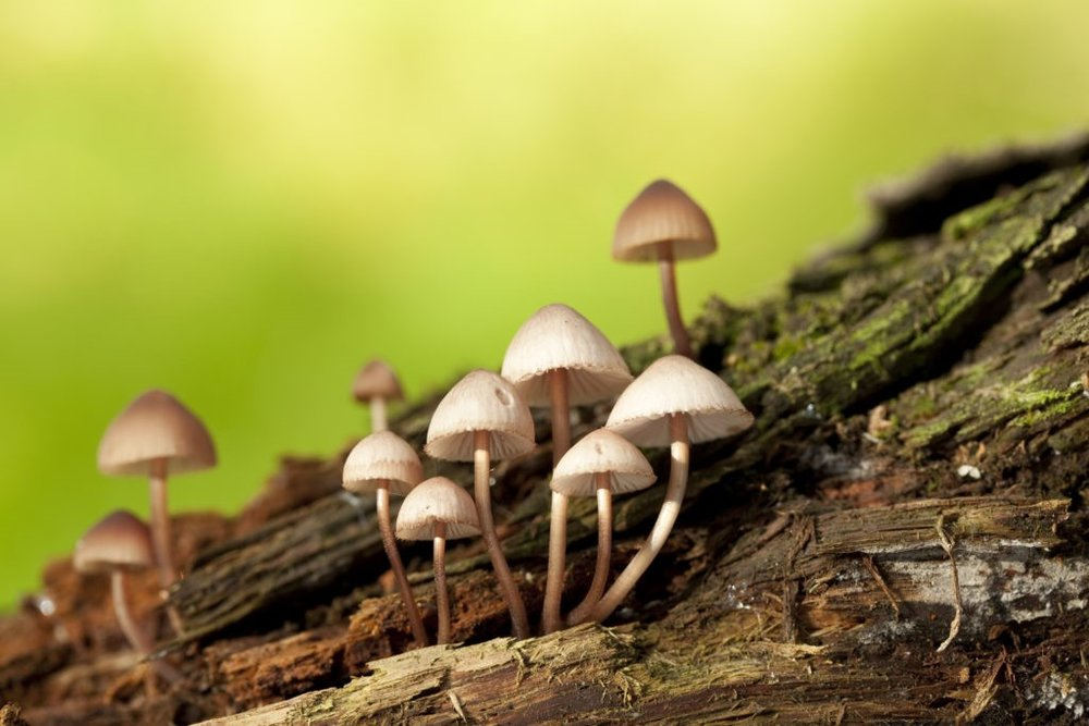 Hallucinogenic (magic) mushrooms (Psilocybe spp.)  dabjola/Shutterstock.com