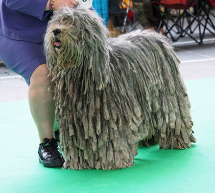Benelux Winner, World Dog Show Amsterdam under French Judge Dupas Jean-Jaques