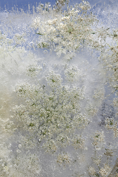Mary Kocol, Queen Anne's Lace Emerging, 2011 via Gallery Naga.