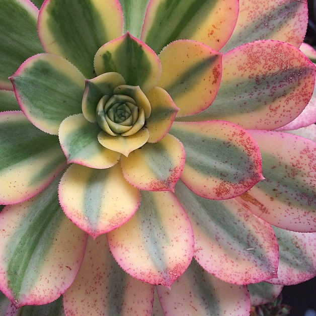Aeonium 'Sunburst', native to the Canary Islands