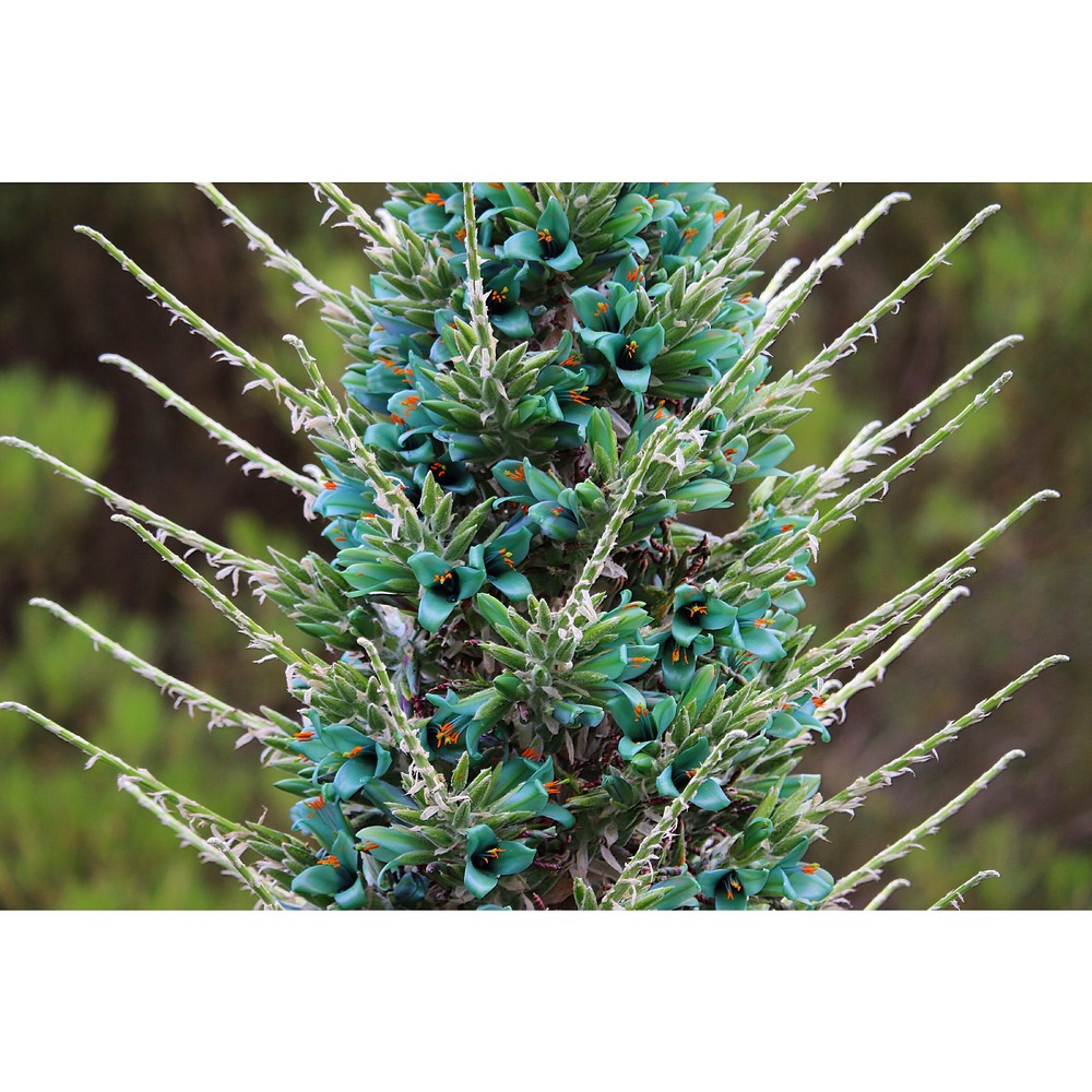 Puya berteroniana, native to Chile