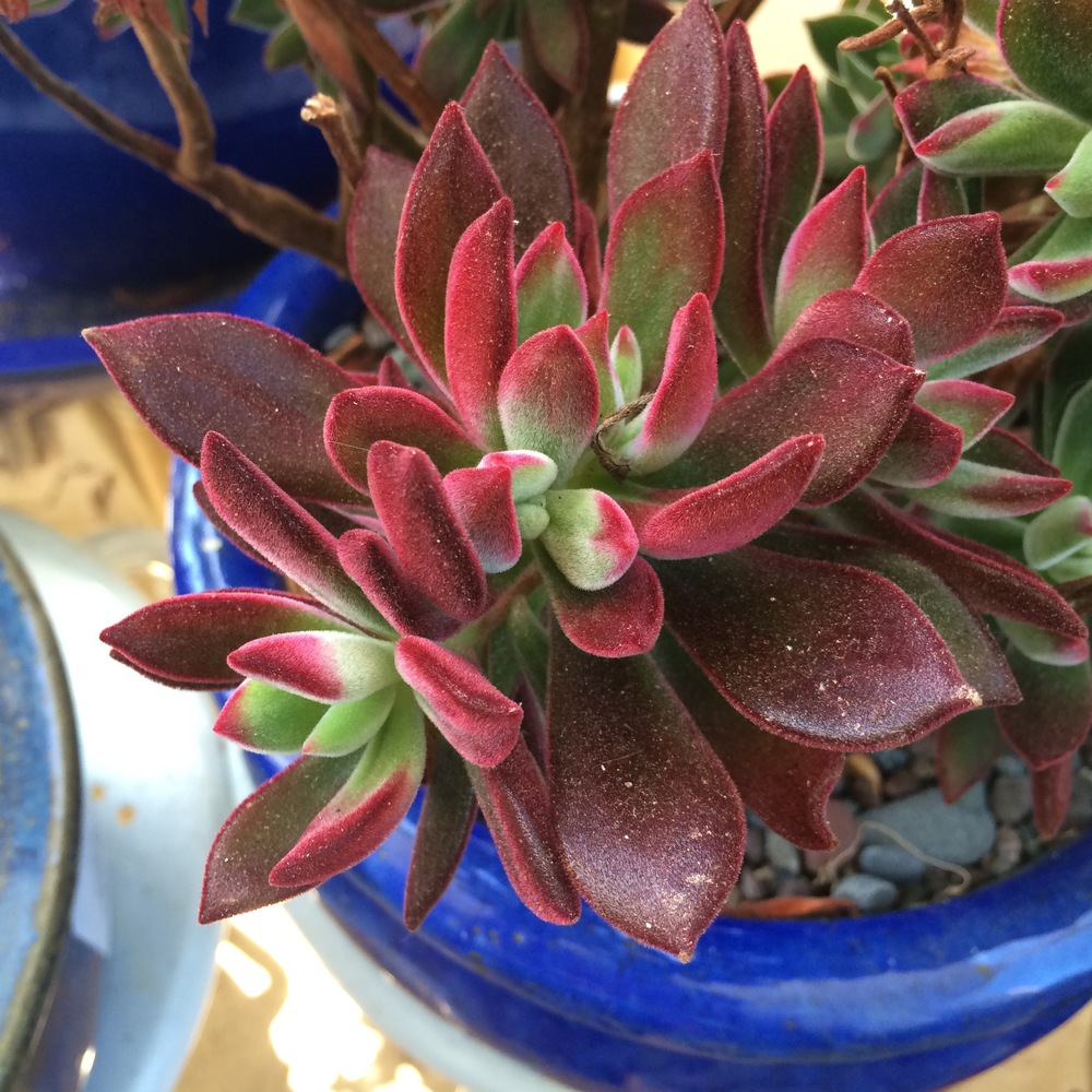 Echeveria 'Red Velvet'