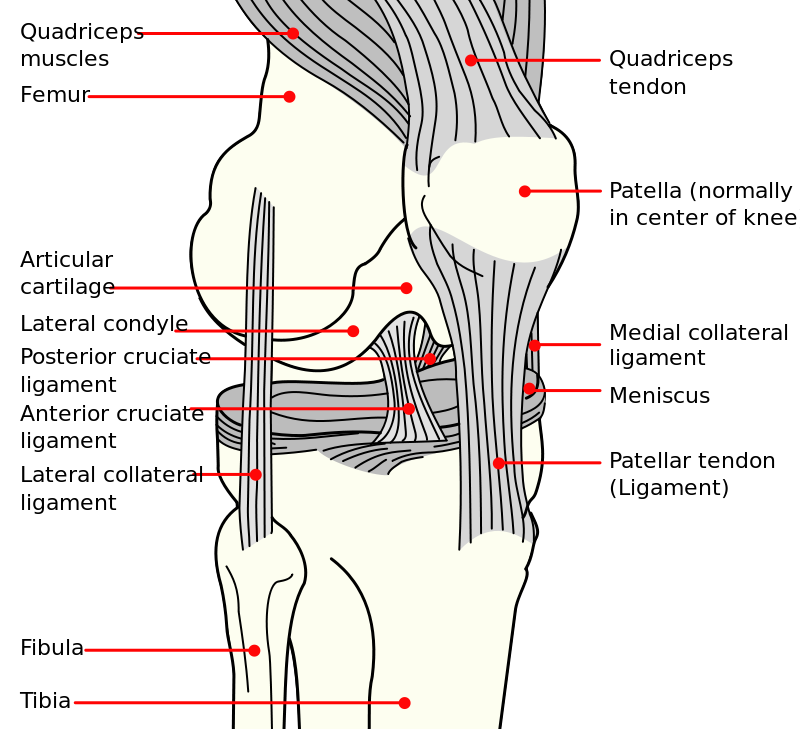 Notice the ACL Ligament, which contributes to the majority of total knee joint stability