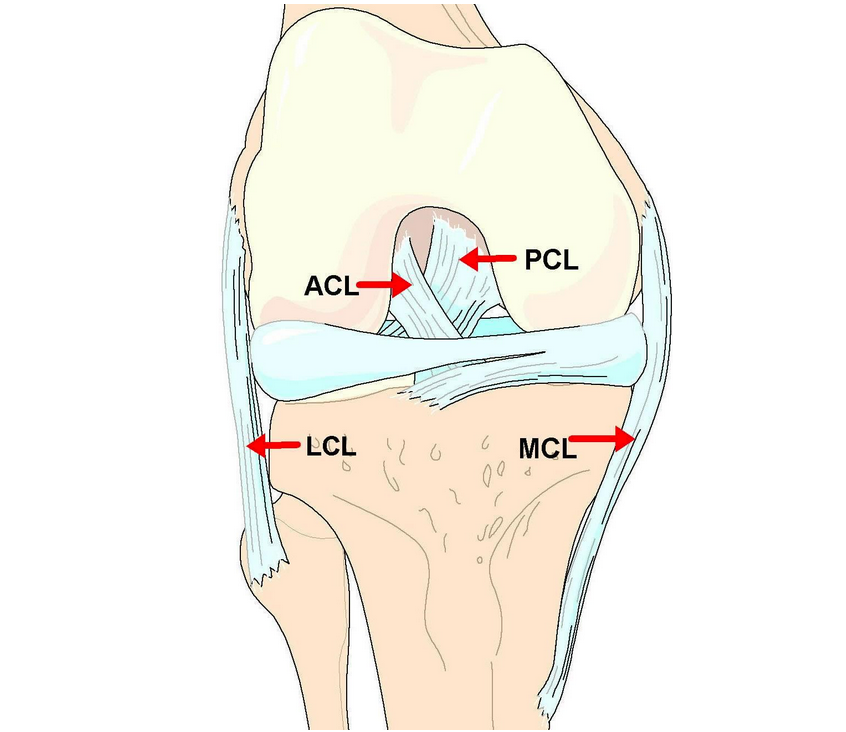 This diagram features the knee ligaments. Note the ACL (Anterior Cruciate Ligament).