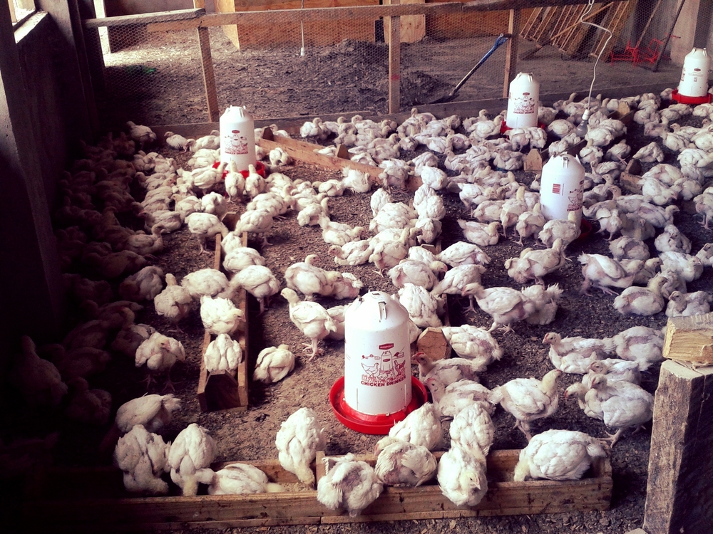 Chickens 1.jpg