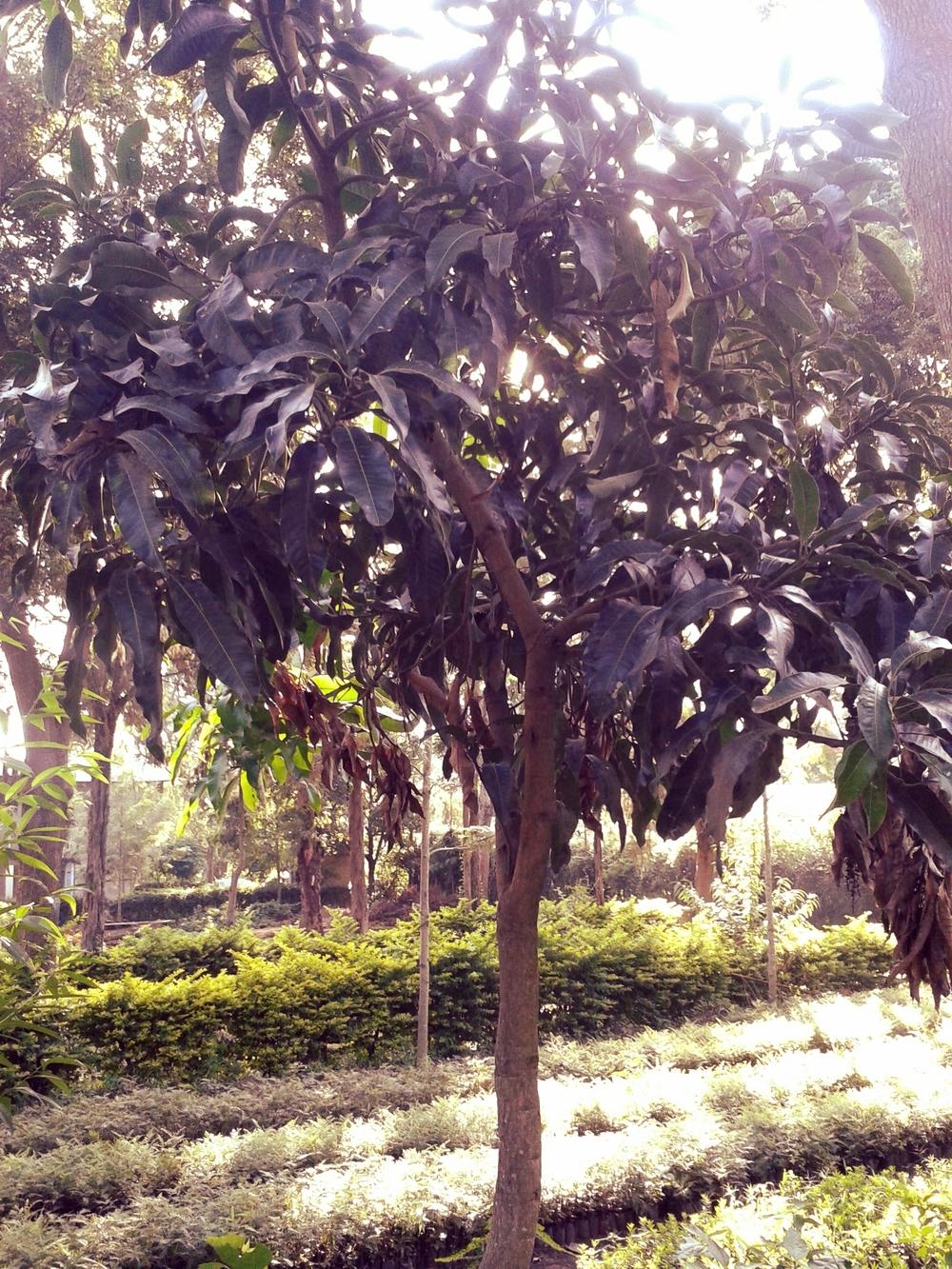 Mango Tree.jpg