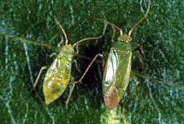 Tree Squad gets rid of Honeylocust Plant Bugs