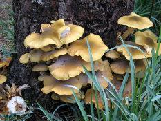 Tree Squad can help trees with Armillaria Root Rot