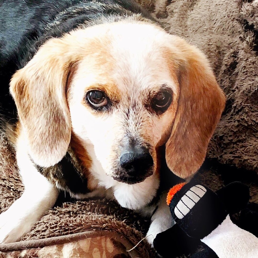 Sweet Meadow Beagle
