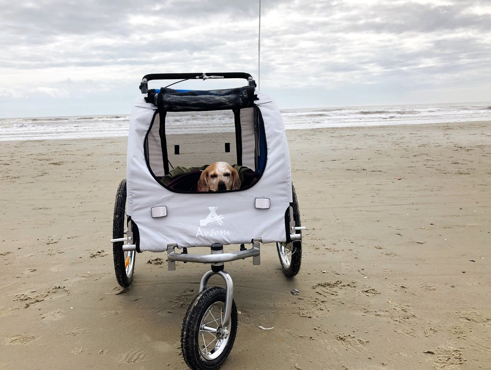 meadow beagle at the beach in her stroller