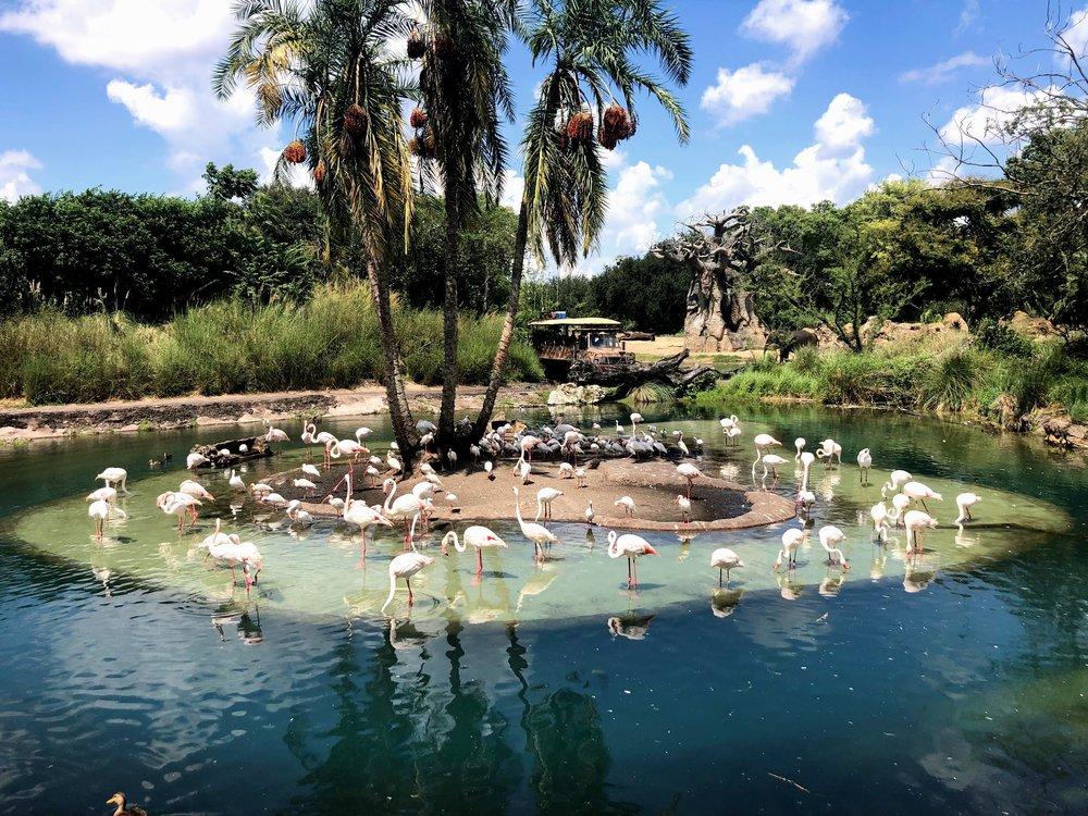 Animal Kingdom Flamingos