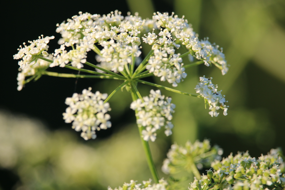 How to tell the difference between poison hemlock and queen anne poison hemlock mightylinksfo