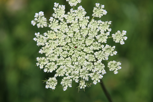 How to tell the difference between poison hemlock and queen anne queen annes lace mightylinksfo