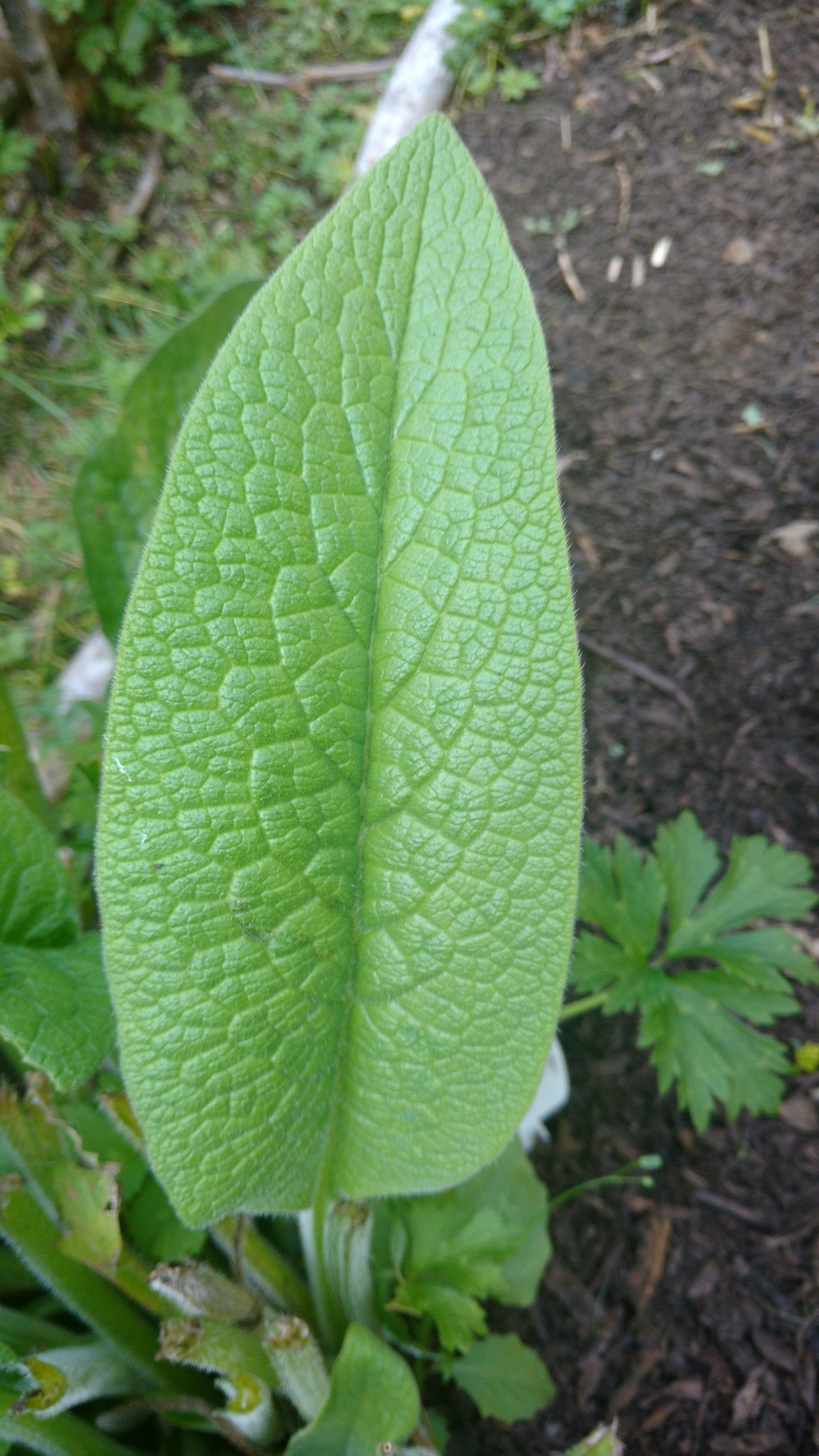 ComFrey (Leaves have stiff hairs and edges of leaf are smooth)