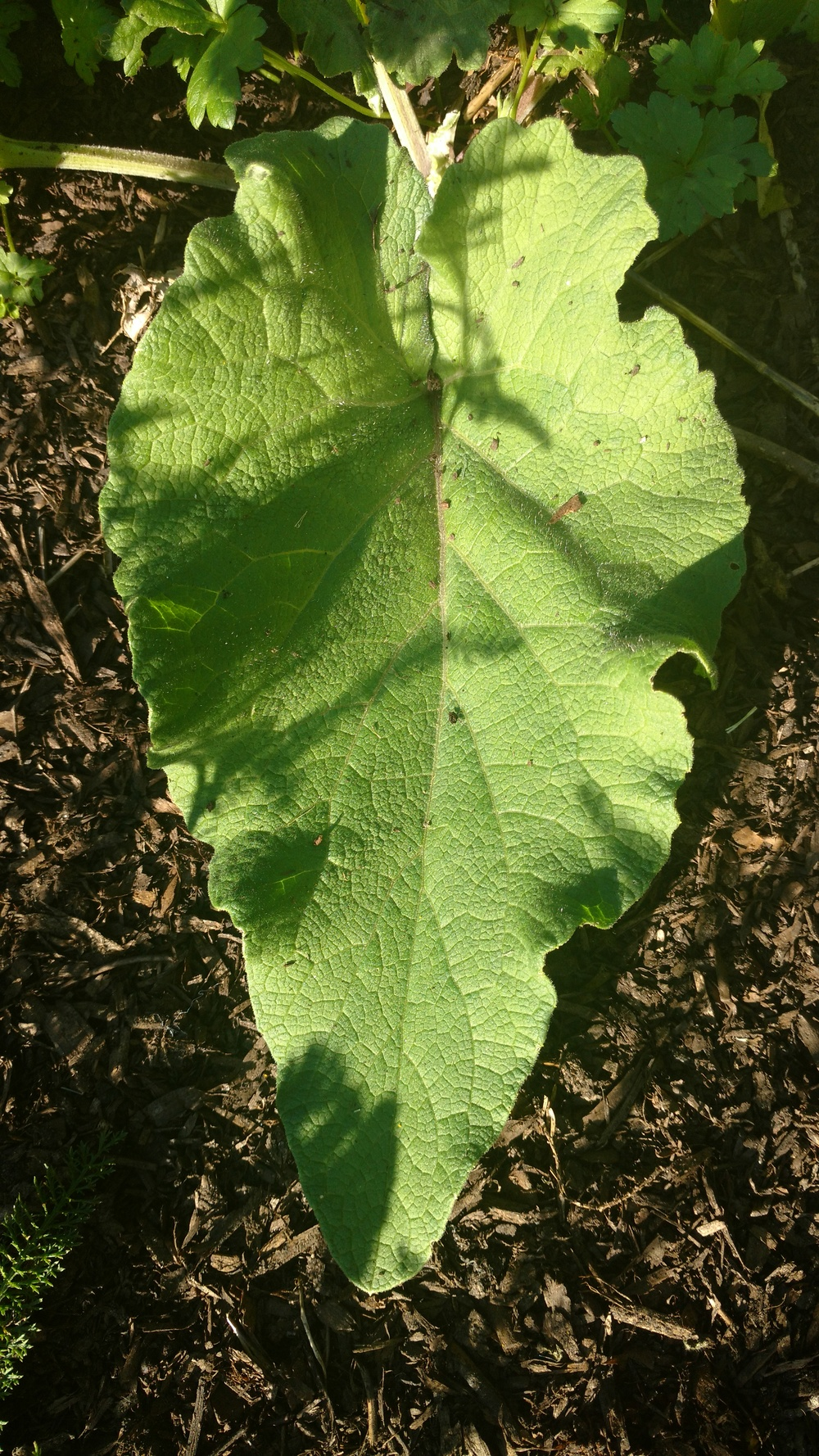 Burdock (Edges oF Leaves Are wavy. The leaf veins also aren't as pronounced)