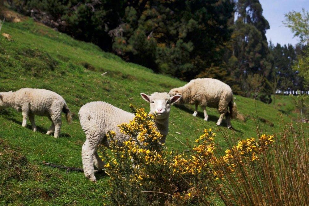Lambs.jpeg
