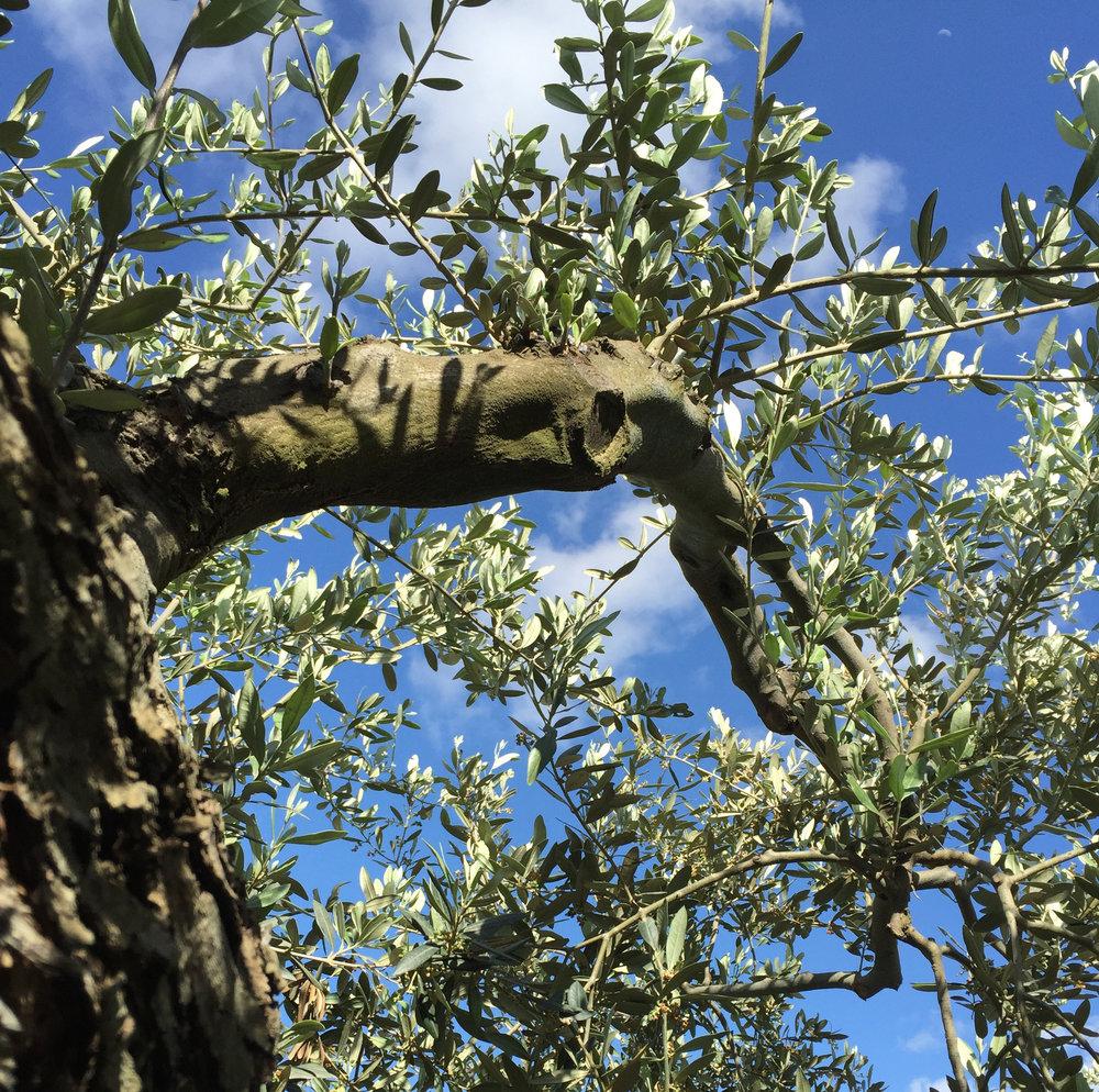 Olive-tree-SQ.jpg