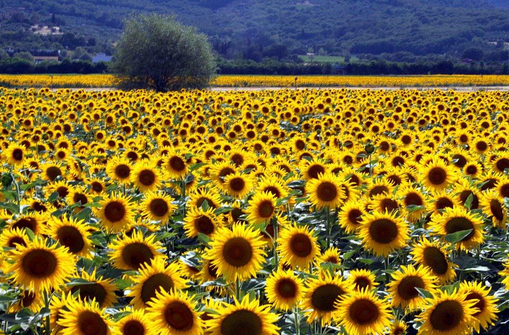 sunflowersa.jpg