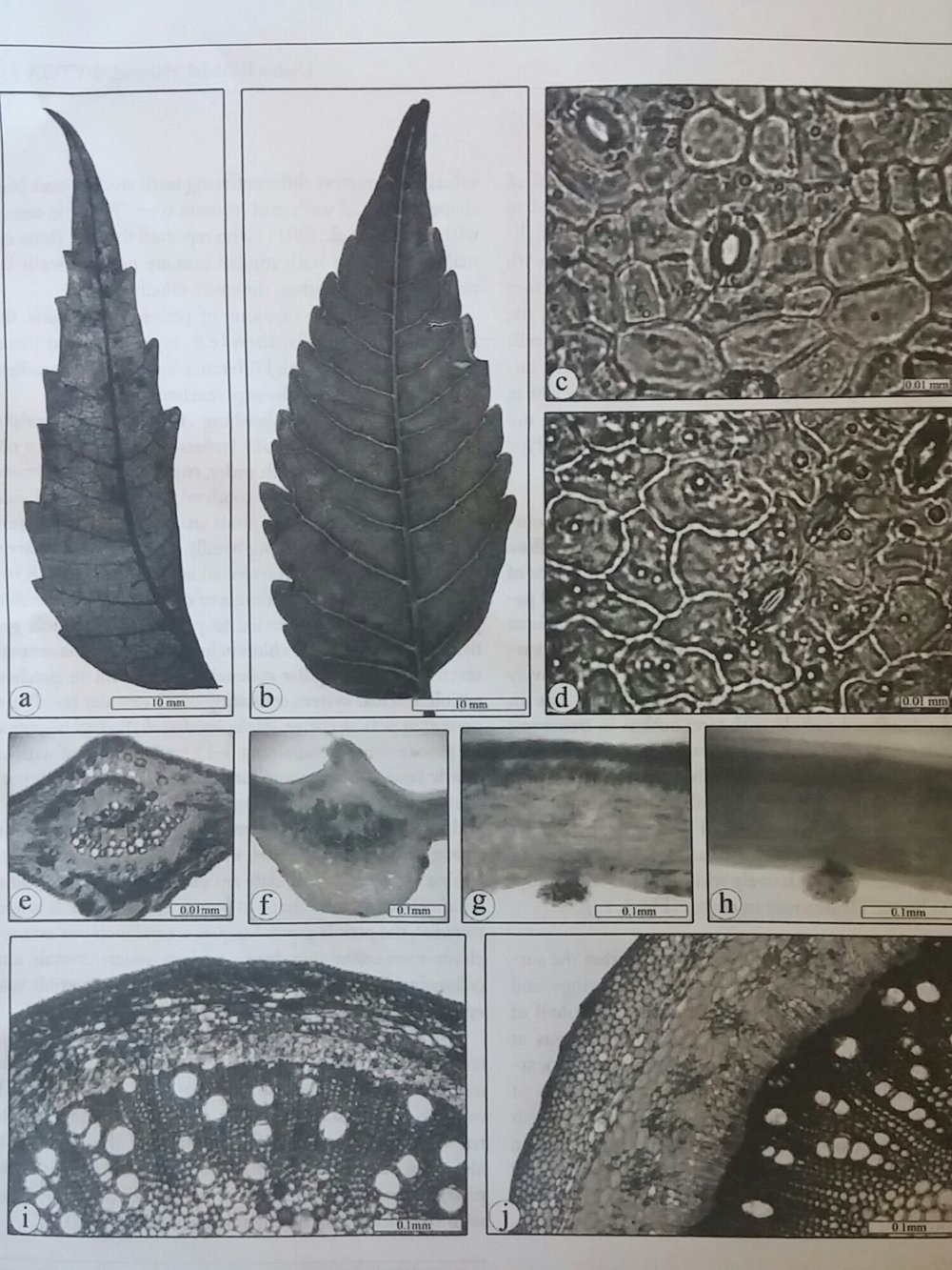 Photographs illustrating foliar characteristics of Azadirachta indica (a,c,e,g,i) and Melia azedarach (b,d,f,h,j).