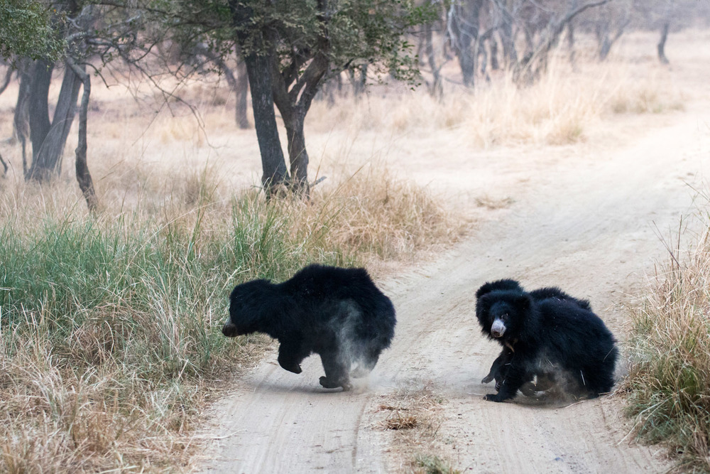 Sloth bear mother and cubs crossing track, Ranthambhore National Park, Rajasthan, India