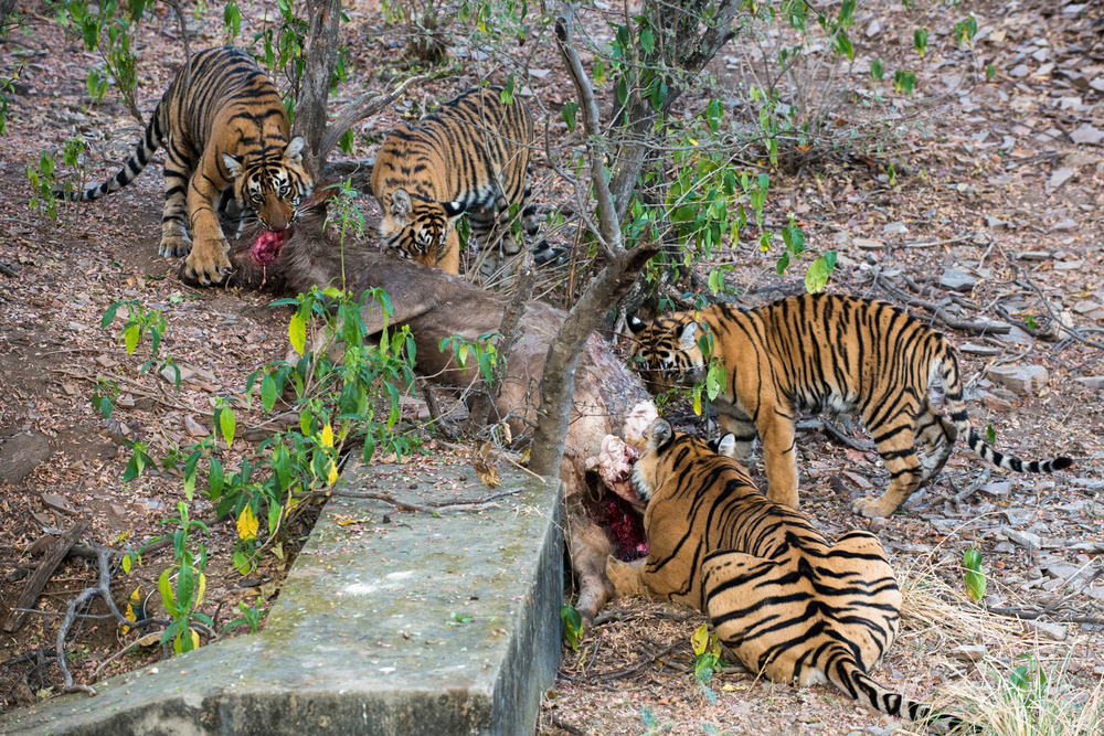 Bengal tiger family eating sambar stag kill, Ranthambhore National Park, Rajasthan, India
