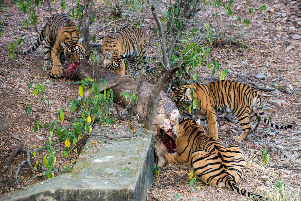 Bengal tiger family eating sambar stag kill, Ranthambhore National Park, Rajasthan, India