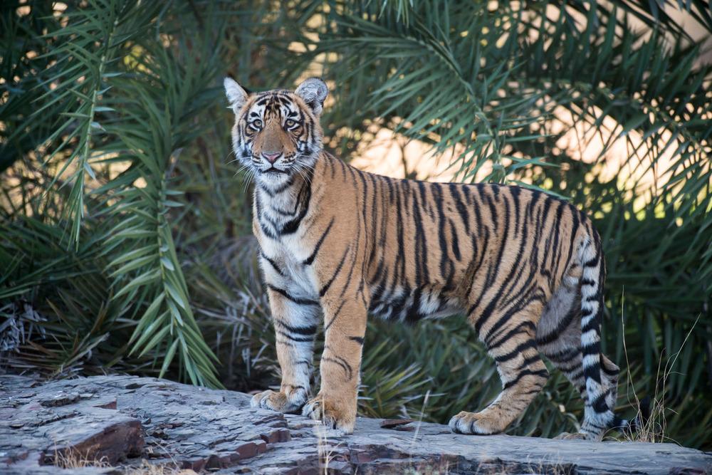 Bengal tiger cub, Ranthambhore National Park, Rajasthan, India