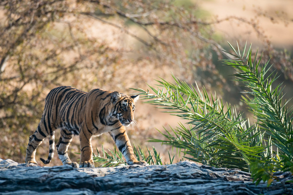 Bengal tiger cub walking along rocky ledge, Ranthambhore National Park, Rajasthan, India