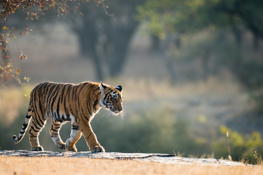 Bengal tiger walking along rocky ledge, Ranthambhore National Park, Rajasthan, India