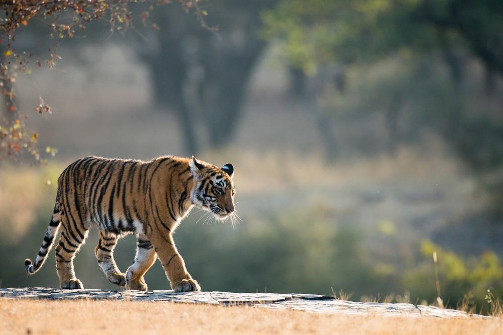 Bengal tiger walking along rocky ledge, Ranthambhore National Park, Rajasthan, India