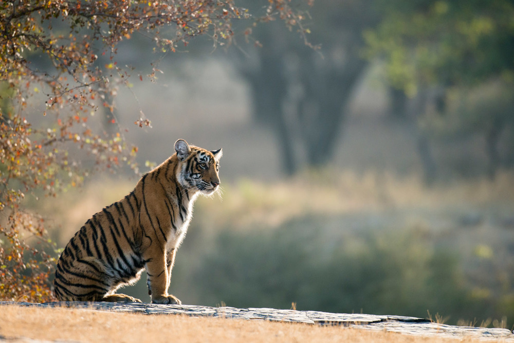 Bengal tiger cub sitting on rocky ledge, Ranthambhore National Park, Rajasthan, India