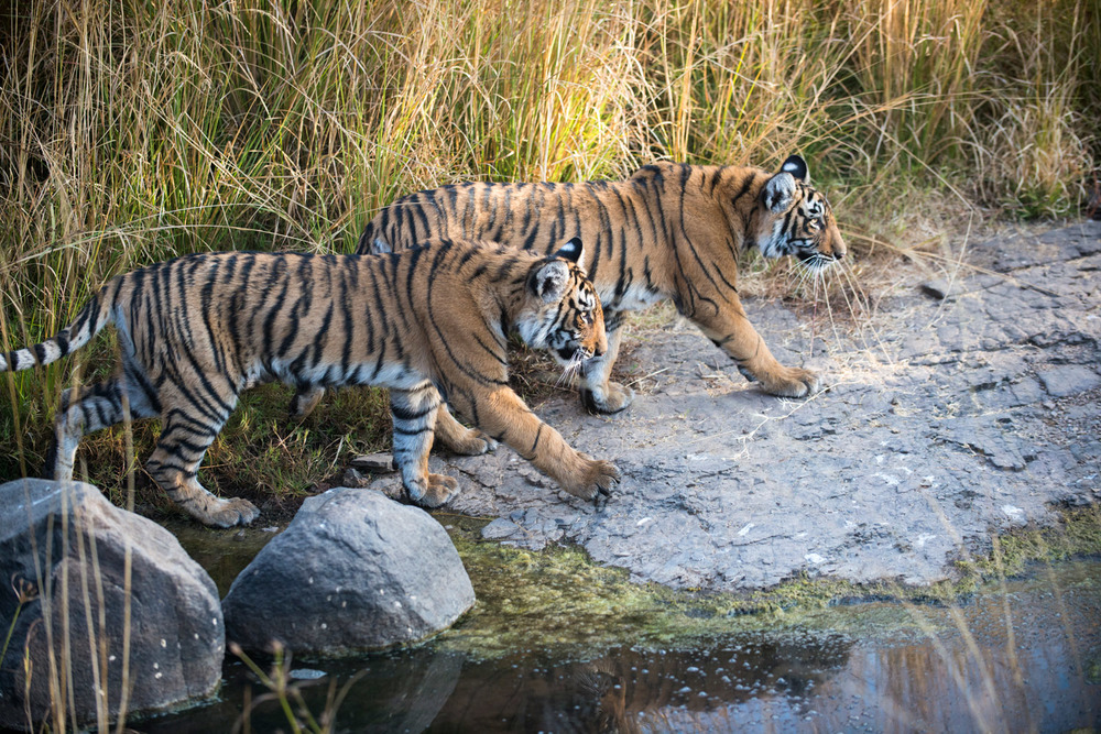 Bengal tiger cubs on the move across rocks, Ranthambhore National Park, Rajasthan, India