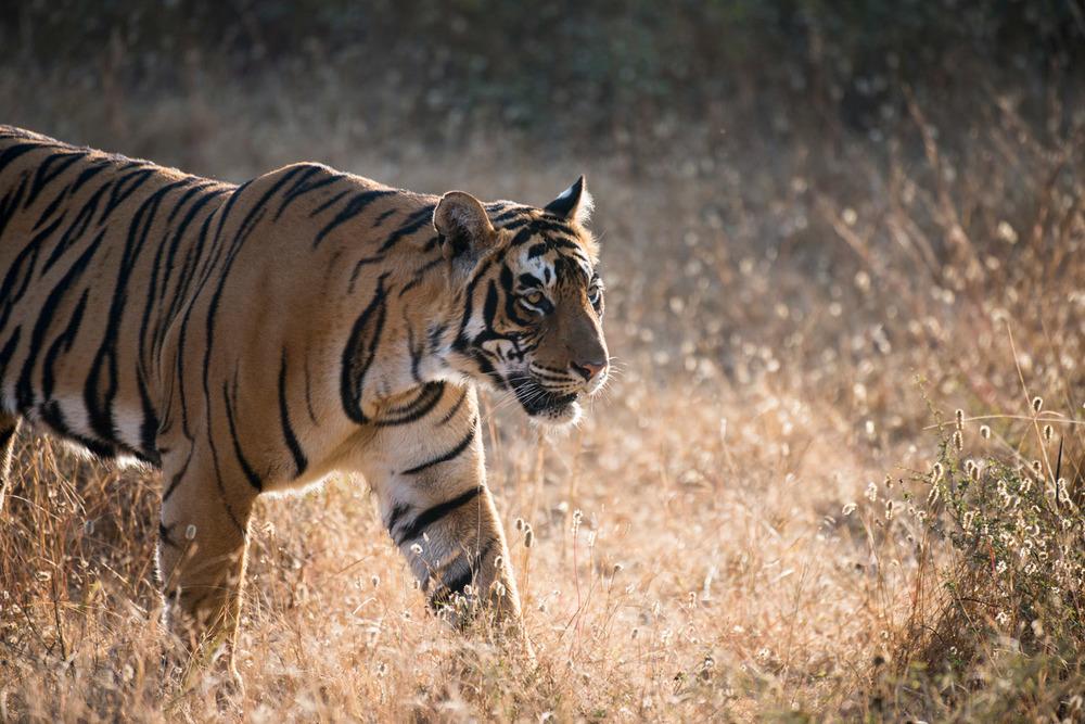 Bengal tiger (Panthera tigris tigris) on the move, Ranthambhore National Park, Rajasthan, India