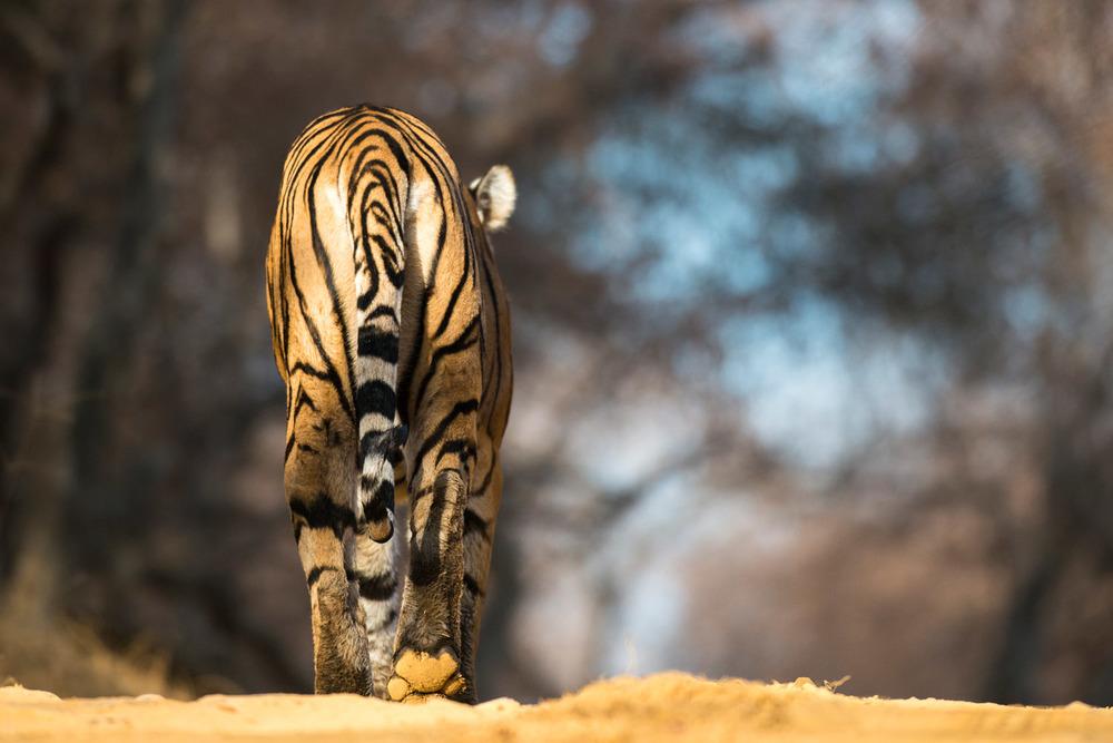 Bengal tiger walking along forest track, Ranthambhore National Park, Rajasthan, India